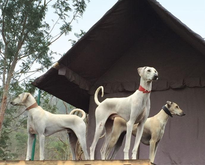 Indian breed dogs