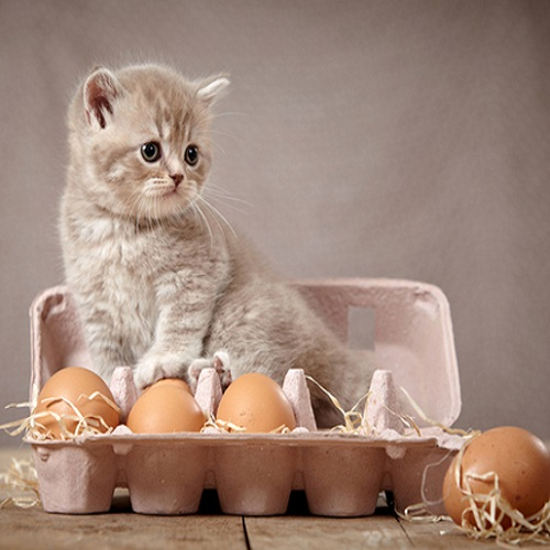 cat raw eggs