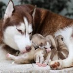 Dog Gestation Period: A Full Guide For Pregnancy Care & Puppy Prep!